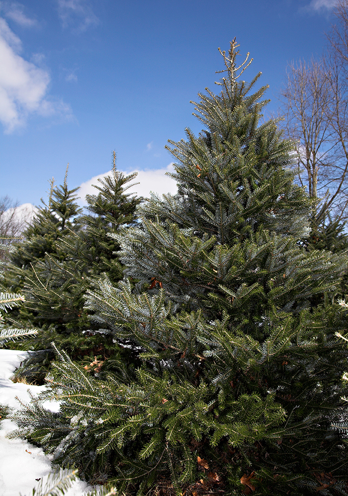 visit apple hill tree farms for a live christmas tree