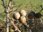 waspoakgalls_category