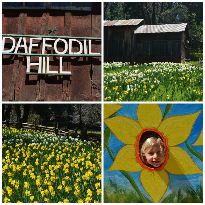 Daffodil hill collage