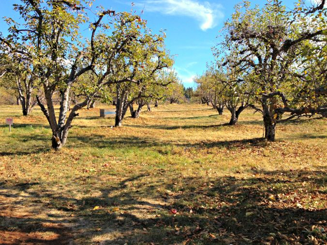 Apple Orchard at Appile Hill