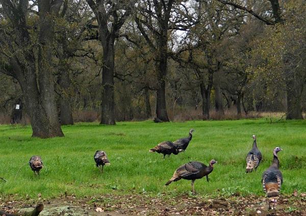 Dec 2012 Turkeys 4