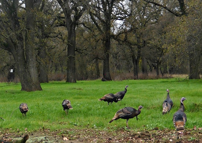 Dec 2012 Turkeys 4