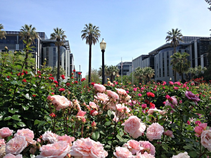 World Peace Rose Garden