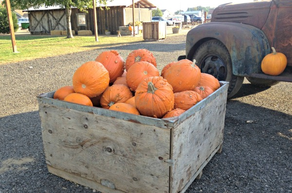 daves-pumpkin-patch-2014-021